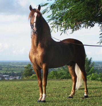 800px-Puerto_rican-Paso-Fino-Horse-chestnut